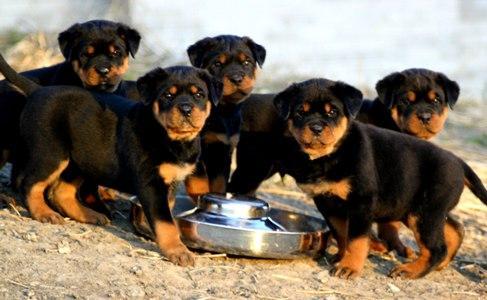 Rottweiler Nasıl Beslenmeli