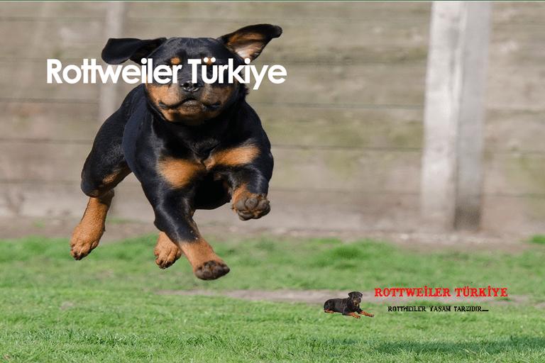 Rottweiler Eğitimi