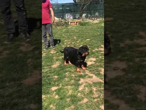 Rottweiler yavrular İstanbul