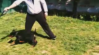 Köpek show Eğitimi Yarışma Eğitimi