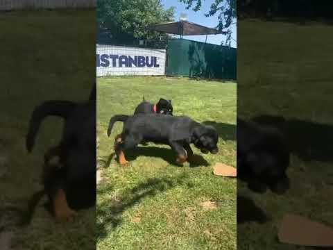 Satılık Rottweiler İstanbul