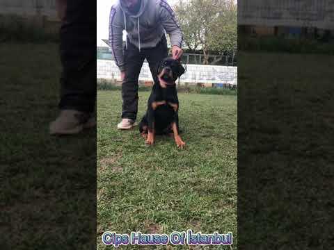 Rottweiler yavru satışı İstanbul