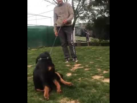 Satılık Safkan Rottweiler Yavruları